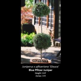 juniperus_x_pfitzeriana_glauca