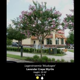lagerstroemia_crape_myrtle_muskogee
