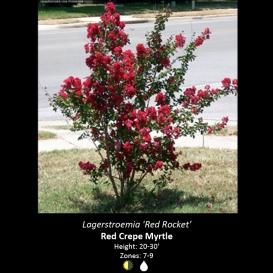 lagerstroemia_crape_myrtle_red_rocket