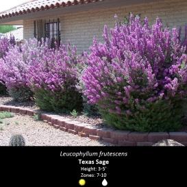 leucophyllum_frutescens_texas_sage