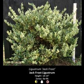 ligustrum_jack_frost