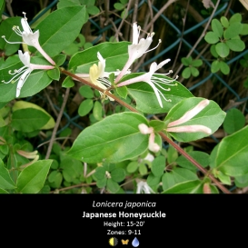 lonicera_japonica_japanese_honeysuckle