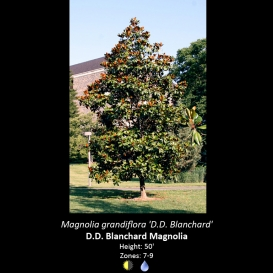 magnolia_grandiflora_d-d-_blanchard