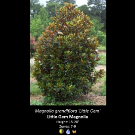 magnolia_grandiflora_little_gem