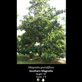 magnolia_grandiflora_southern