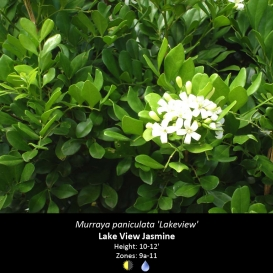 murraya_paniculata_lakeview