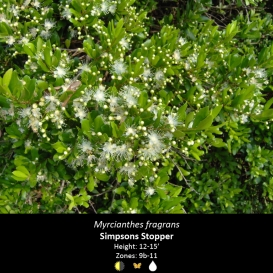 myrcianthes_fragrans_simpson_stopper