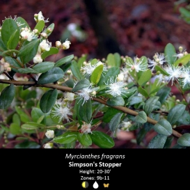 myrcianthes_fragrans_simpsons_stopper