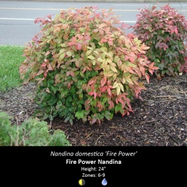 nandina_domestica_fire_power