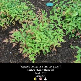 nandina_domestica_harbor_dwarf