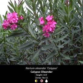 nerium_oleander_calypso