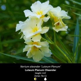 nerium_oleander_luteum_plenum