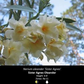 nerium_oleander_sister_agnes