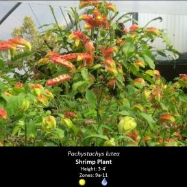 pachystachys_lutea_shrimp_plant