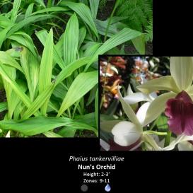 phaius_tankervilliae_nons_orchid