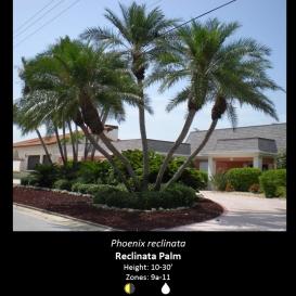 phoenix_reclinata_reclinata