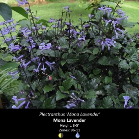 plectranthus_mona_lavender