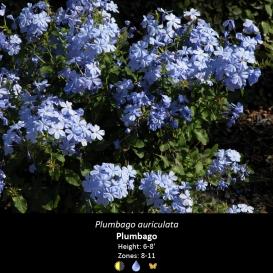 plumbago_auriculata
