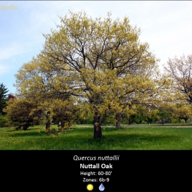 quercus_nuttallii_nuttal_oak