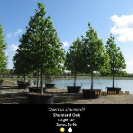 quercus_shumardii_shumard_oak
