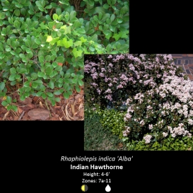 rhaphiolepis_indica_indian_hawthorn
