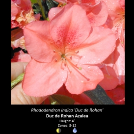 rhododendron_indica_duc_de_rohan