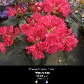 rhododendron_prize
