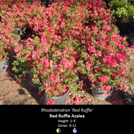 rhododendron_red_ruffle