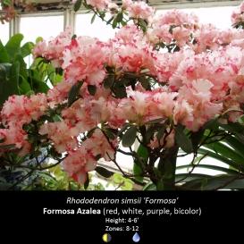 rhododendron_simsii_formosa