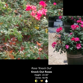 rosa_knock_out