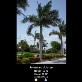 roystonea_violacea_royal