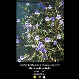 ruellia_brittoniana_mexican_blue_bell