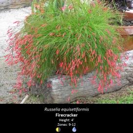 russelia_equisetiformis_firecracker