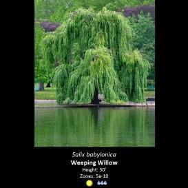 salix_babylonicasalix_babylonica_weeping_willow