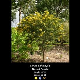 senna_polyphylla_desert_cassia