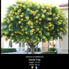senna_surattensis_cassia_tree