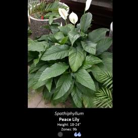 spathiphyllum_peace_lilly