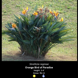 strelitzia_reginae_orange_bird_of_paradise