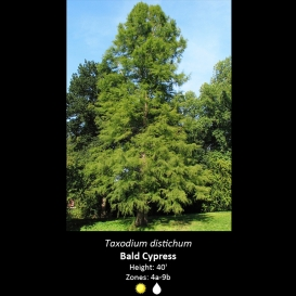 taxodium_distichum_bald_cypress