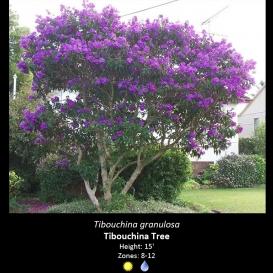 tibouchina_granulosa