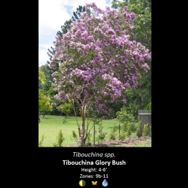 tibouchina_spp-_tibouchina_glory_bush