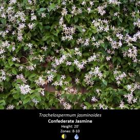 trachelospermum_jasminoides_confederate_jasmine
