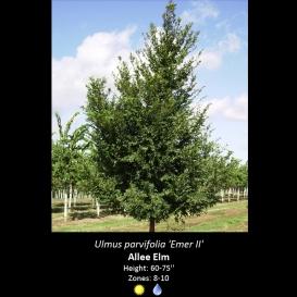 ulmus_parvifolia_allee_elm