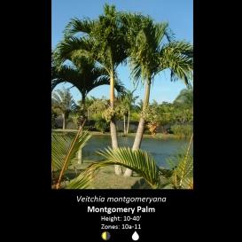 veitchia_montgomeryana_montgomery