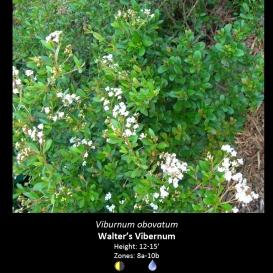 viburnum_obovatum_walters