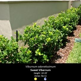 viburnum_odoratissimum