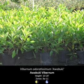 viburnum_odoratissimum_awabuki