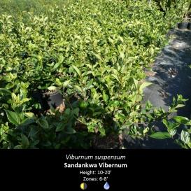 viburnum_suspensum