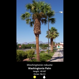 washingtonia_robusta