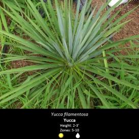 yucca_filamentosa_yucca